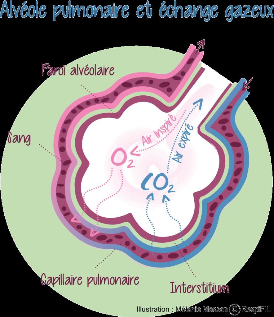 Alvéole pulmonaire et échange gazeux